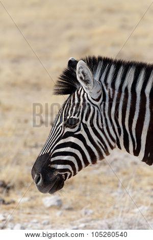 Zebra Portrait. Burchell's Zebra
