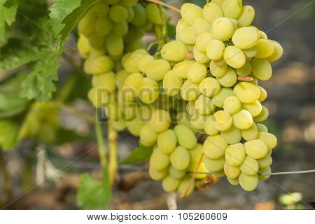 Ripe Clusters Of Grape On Grapevine