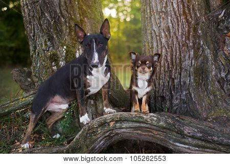english bull terrier and chihuahua dogs together