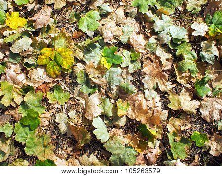 Fallen Autumn Leaves Closeup On The Ground