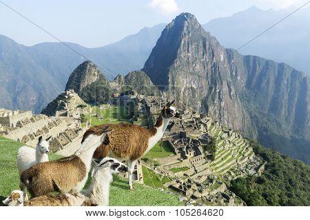 Machu Picchu Ruins Lama Herd