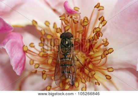 Syrphyd Fly On The Flower