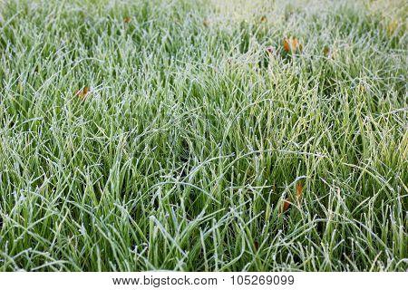 green grass in white frost