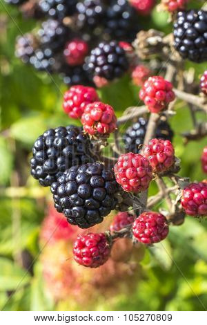 Close Up Of Ripe And Ripening Wild Blackberries