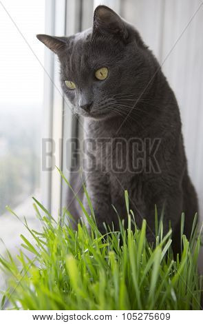 Cute Cat With Wheat Green Sprouts, Grass Growing