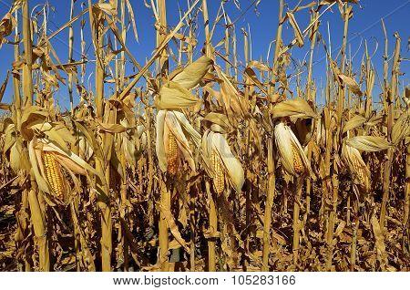 Ripe field of corn