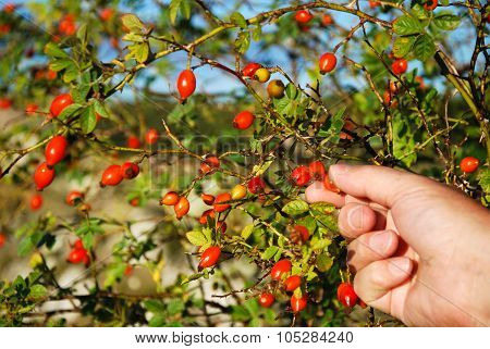 Picking Rose-hips