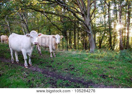 White Cattle Herd