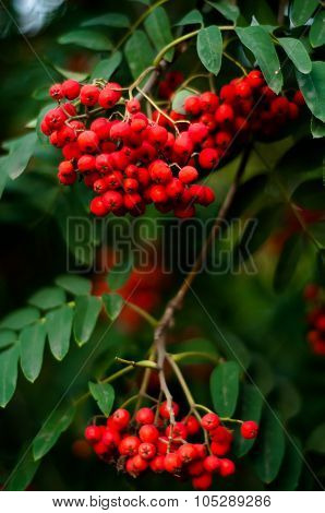 Blurred Rowan Tree With Bright Red Berries