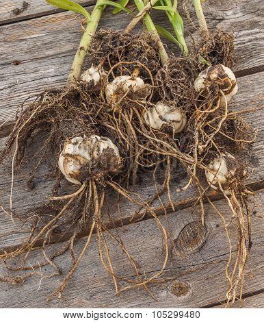 Lilium Dauricum (pensylvanicum) Bulbs