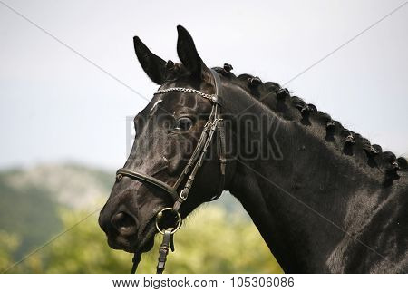 Side View Portrait Of A Beautiful Black Colored Horse