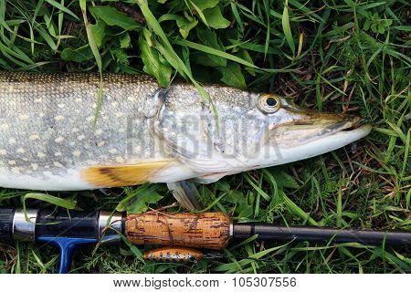 Pike Fishing Catch On The Grass And Fishing Gear