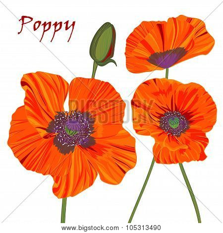 Poppy Flower And Bud