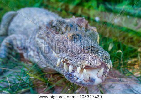 Sharp teeth crocodile