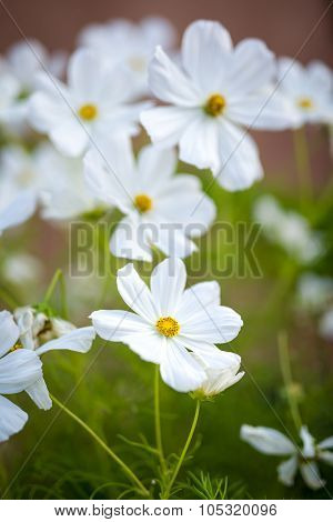 White Flowers In New Mexico Garden