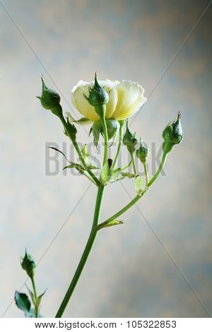 Yellow Rose Bud On A Beige Background