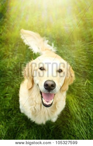 Adorable Golden Retriever on green grass, outdoors