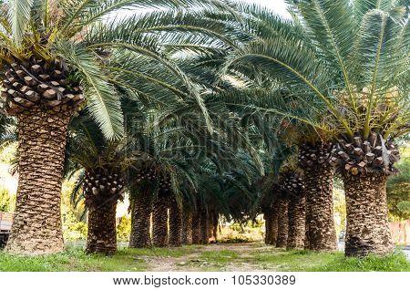 Palm Trees Rows Cykas