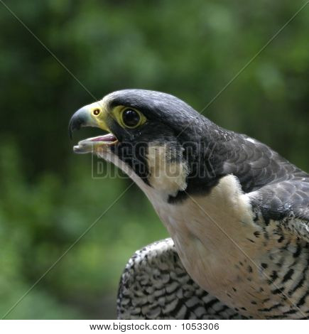 Closeup Picture Of An Excited  Peregrine Falcon