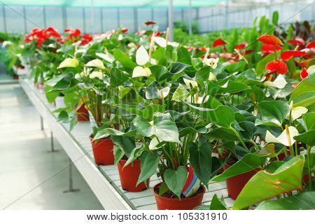 Anthurium flowers in huge greenhouse