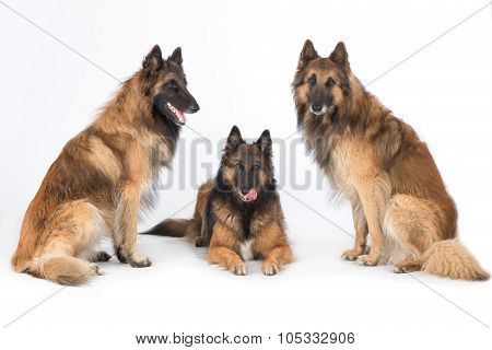 Three Dogs Isolated On White Studio Background