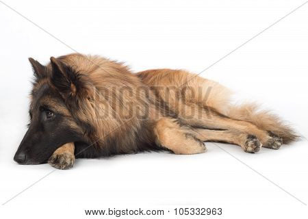 Dog, Belgian Shepherd Tervuren, Lying