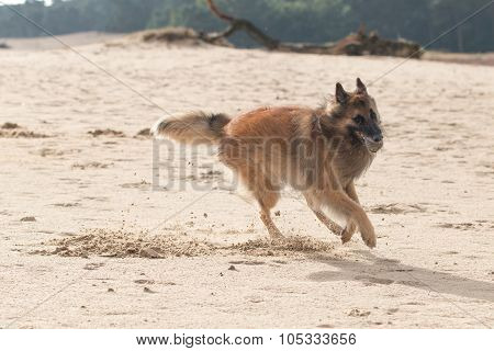 Belgian Shepherd Dog, With Ball In Sand