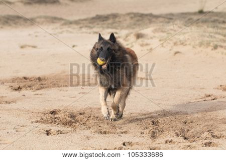 Belgian Shepherd Dog, Tervuren Running In Sand