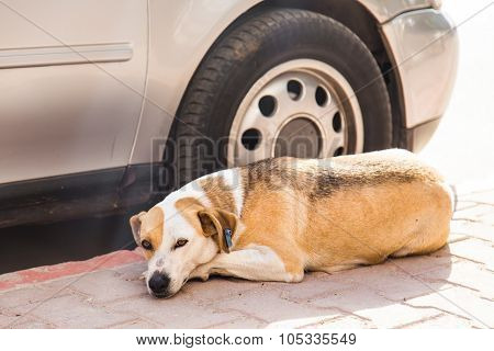 homeless dog lying near car