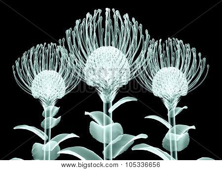 X-ray Image Of A Flower Isolated On Black , The Nodding Pincushion