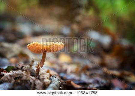 Autumn sunlight catches the fins of a fungus. New Forest, Hampshire UK. Intentional shallow depth of field.