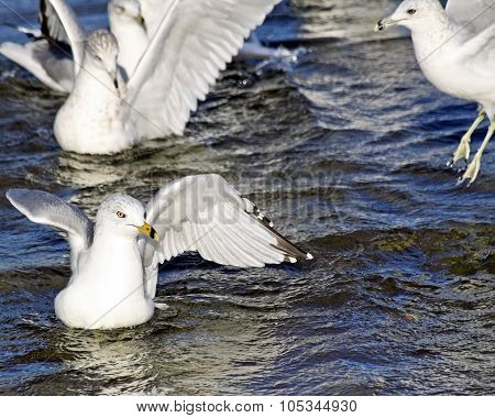 Group of Seagulls swimming and flapping their wings in beautiful blue refreshing waters