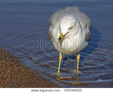 Seagull walking along shoreline in water looking for food.  Beak slightly open, head looking down