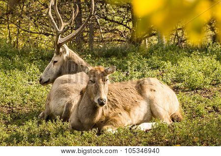 Male And Female Pere David Deer Resting