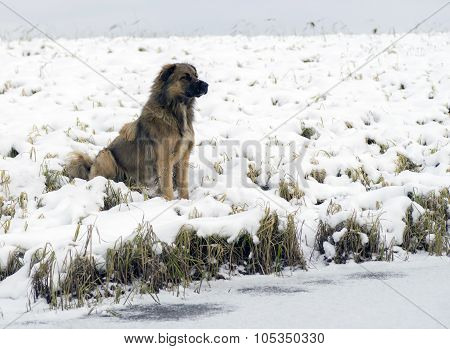 Homeless dog sitting on the shore of  lake in winter.