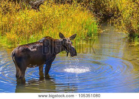 Moose In The Conundrum Creek Colorado