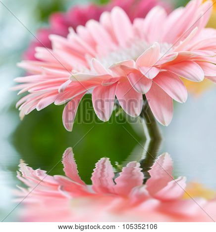Pink daisy gerbera reflicting in the water