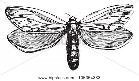 Hepialidae, vintage engraved illustration.