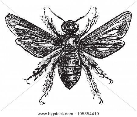 Violet carpenter bee, vintage engraved illustration.