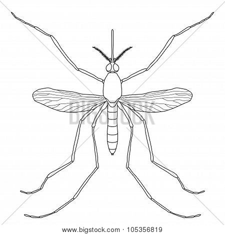 Insect. a realistic mosquito. Culex pipiens Mosquito silhouette. Mosquito isolated  on white backgro