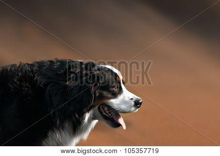Portrait of  bernese mountain dog