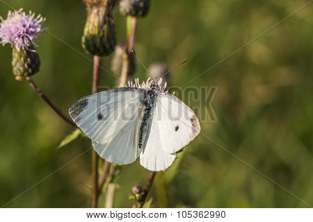Cabbage butterfly (pieris Rapae)