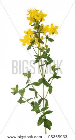 bright yellow hypericum flower isolated on white background