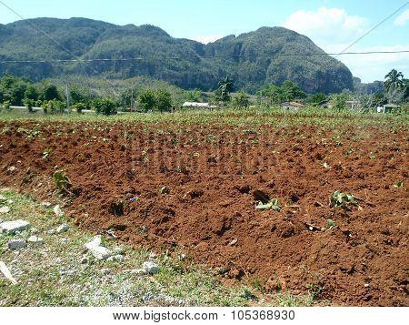 Cuban Field