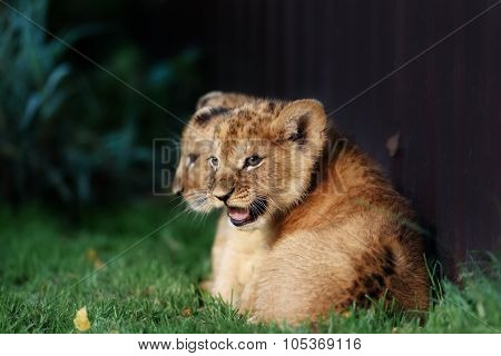 Alert small lion cub with brown fur