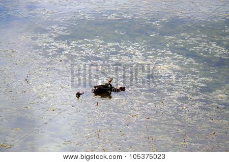 A Turtle in Turtle Lake