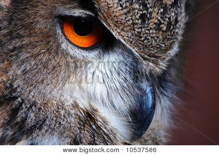 Eagle Owl Eye