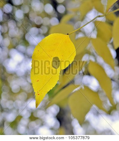 Fall. Lonely Yellow Leaf Of An Ash-tree.