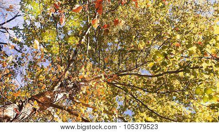 Colorful Sycamore Fall or Autumn Foliage.
