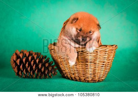Shiba Inu sits on a green background in the basket